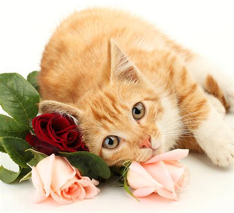 Young orange cat resting on three cut roses.